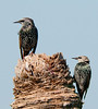 European Starling - Beaks Right!