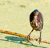 Green Heron - I can see you with both of my eyes