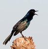 The Common Grackle is letting me know he sees me