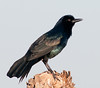 Common Grackle at attention