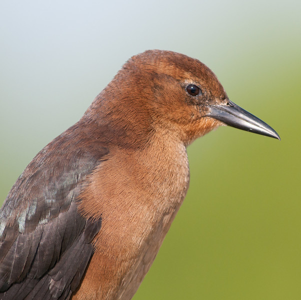 Female Boat Tail Grackle - See the details in my feathers