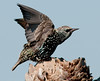 European Starling - Ready for flight