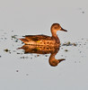 Female Green-winged Teal with its reflection