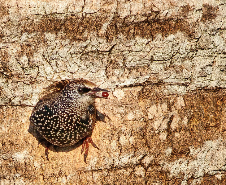 European Starling eating a berry