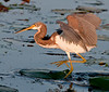 Tri-colored Heron just hopping around looking for something to eat