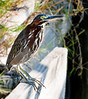 I photographed this Green Heron at the Viera Wetlands at the pump station in the Dan's Click Ponds area.