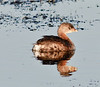 Pied-billed Grebe See my reflection