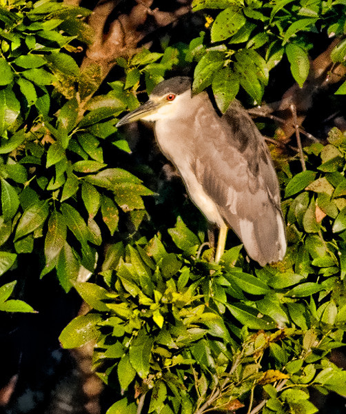 Black-Crowned Night Heron - This photo was taken 84 yards away from where I photographed it and it is cropped into 4% of the original size of this photo