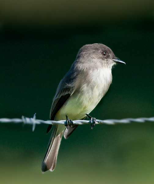 I saw this Eastern Phoebe on the way to Moccasin Island Tract