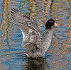 American Coot - A little fluttering going on!
