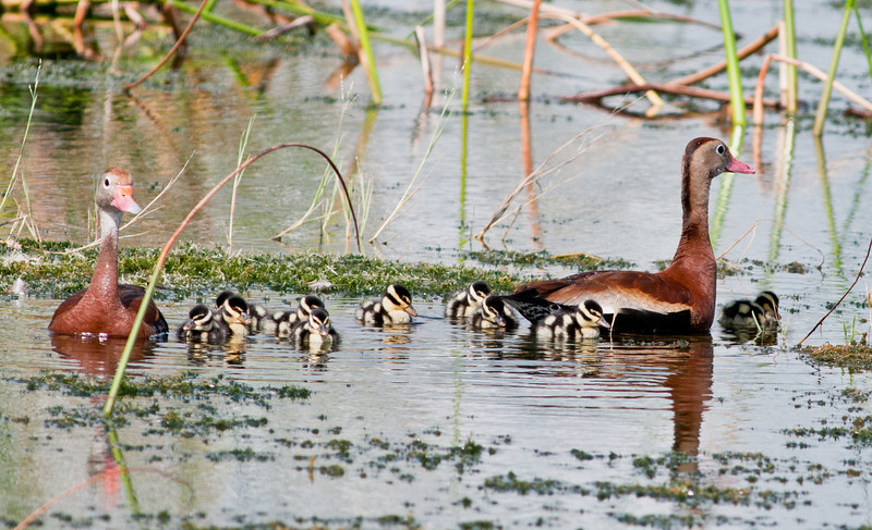Black-bellied Whistling Ducks 2 parents with its 11 chicks