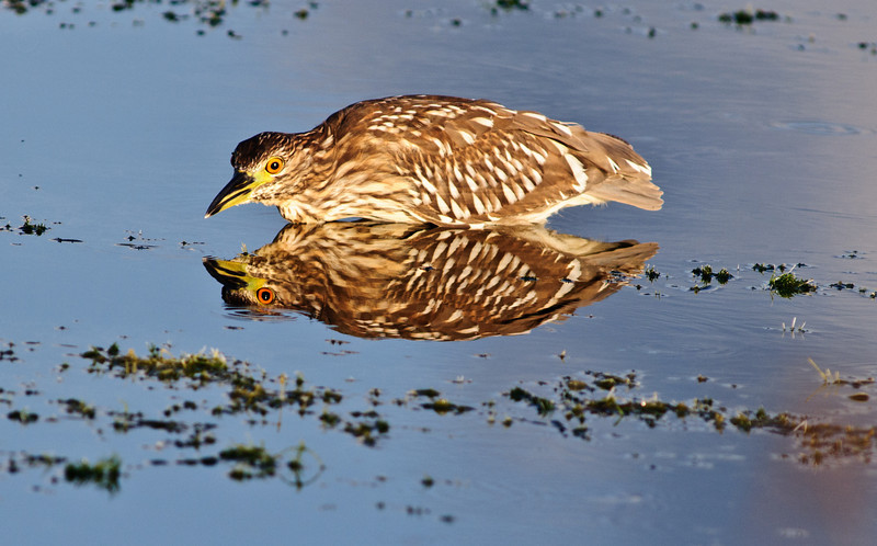 Juvenile Black-Crowned Night Heron - See my reflection