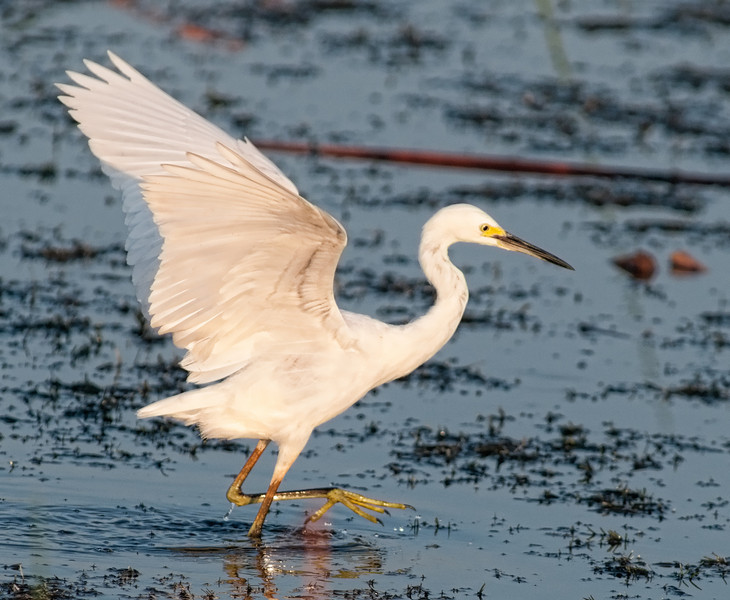 Juvenile Snowy Egret - On the move