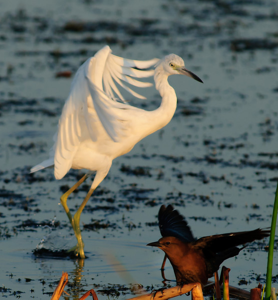 Juvenile Little Blue Egret - Who is going to win this territorial battle?