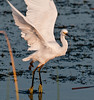 Juvenile Snowy Egret - Ready for take off