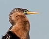 Viera Wetlands - Breeding Female Anhinga