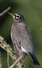 Moccasin Track Island Parking Area - American Robin