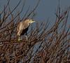 Viera Wetlands - Juvenile Black-crowed Night-Heron