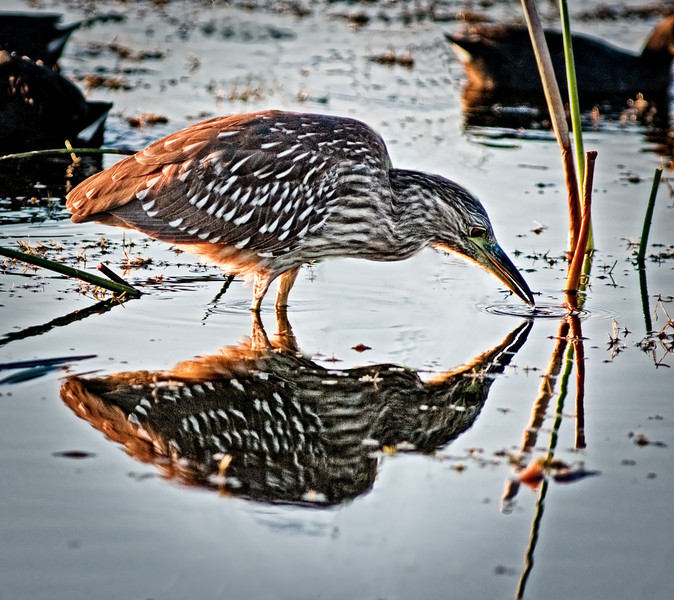 Black-crowned Night-Heron, Heron with its reflection