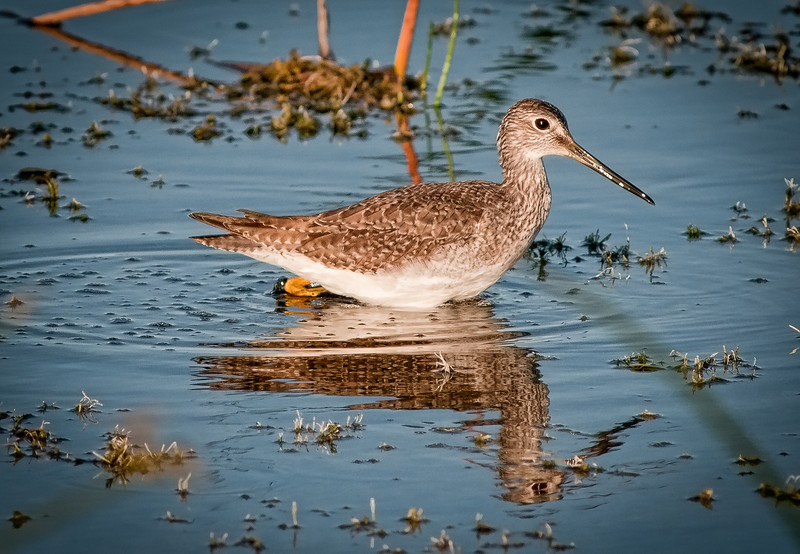 Lesser Yellowlegs with its reflection