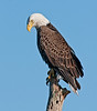 Bald Eagle - Who's down there?