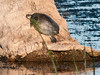 Common Cooter turtle sunning itself