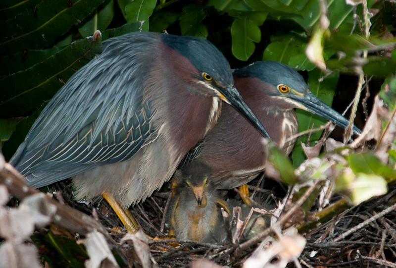 Both Green Heron parents at there nest with their 3 babies