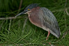 The male adult Green Heron perched next to the nest