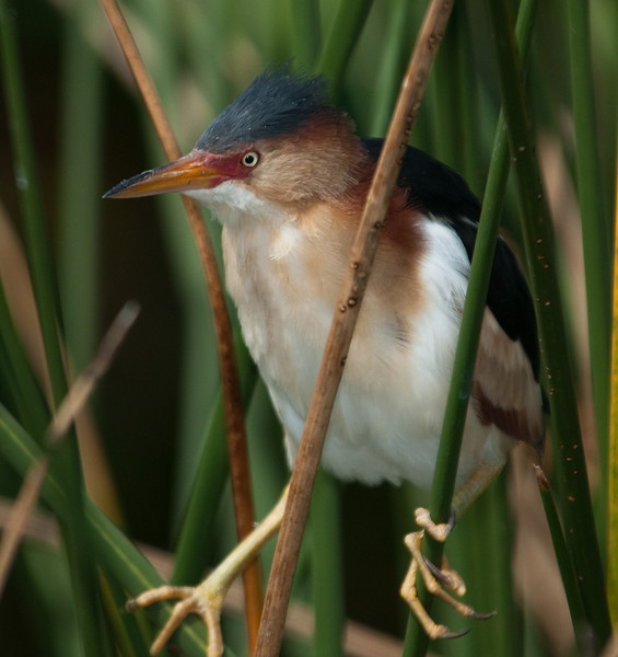 Male Little Bittern near the its nest