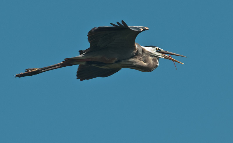 A Great Blue Heron in flight with its tongue hanging out