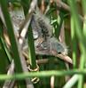 Baby Least Bittern wondering around their nest