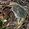 Portrait photos of the Green Heron baby