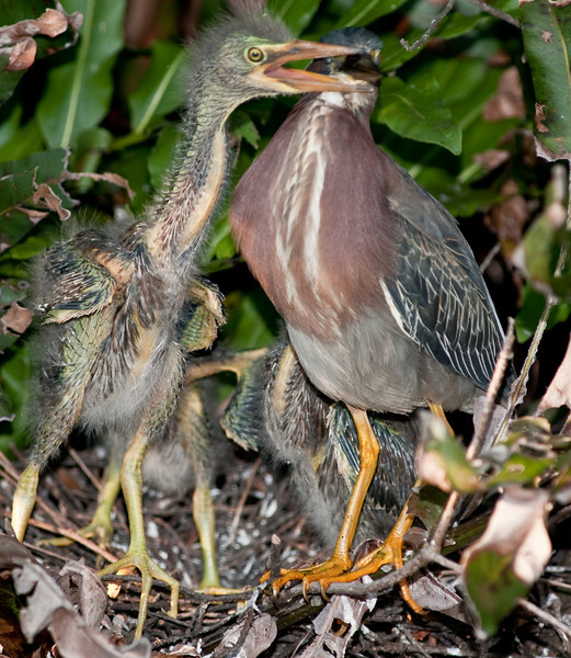 The little baby Heron can really stretch neck now