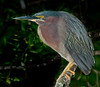 The adult Green Heron on a branch close by its nest.