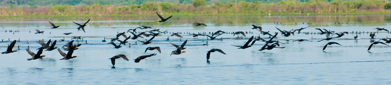 • This photo was taken from a Airboat that we hired from Middleton Fish Camp.<br /> • The Anhingas trying to fly away from the Airboat