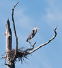 • This photo was taken from a Airboat that we hired from Middleton Fish Camp.<br /> • Great Blue Heron standing next to its nest