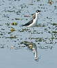 • This photo was taken from a Airboat that we hired from Middleton Fish Camp.<br /> • Black-necked Stilt with its reflection