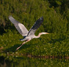• This photo was taken from a Airboat that we hired from Middleton Fish Camp.<br /> • Great Blue Heron in flight