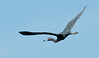 • This photo was taken from a Airboat that we hired from Middleton Fish Camp.<br /> • Little Blue Heron in flight