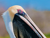 This close up of a Brown Pelican was taken at Canal 54  near the boat ramp