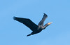 • This photo was taken from a Airboat that we hired from Middleton Fish Camp.<br /> • Anhinga in flight