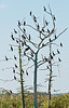 • This photo was taken from a Airboat that we hired from Middleton Fish Camp.<br /> • Anhinga hanging out in the trees