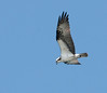 • This photo was taken from a Airboat that we hired from Middleton Fish Camp.<br /> • Osprey in flight