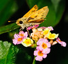Female, Fiery Skipper Moth