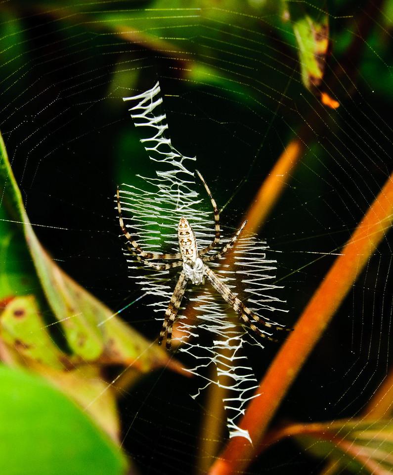 Black & yellow Garden Spider - Unusual Spider Web