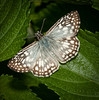Male Tropical Checkered-Skipper Butterfly