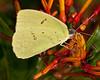 • Arnold's Butterfly Heaven<br /> • Southern Dogface Butterfly