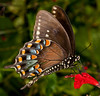 • Arnold's Butterfly Heaven<br /> • Black Swallowtail Butterfly