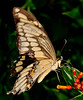 • Arnold's Butterfly Heaven<br /> • Gaint Swallowtail Butterfly