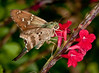 • Arnold's Butterfly Heaven<br /> • Monk Skipper Moth
